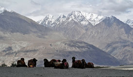 Camellos bactrianos en el valle de Nubra Foto de archivo