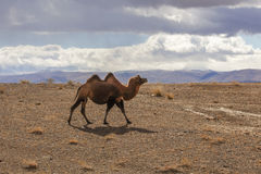 Camellos bactrianos, hechos excursionismo Fotos de archivo