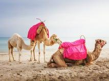 Camellos con el bebé Imágenes de archivo libres de regalías