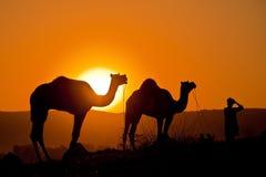 Camellos con el hombre en la salida del sol Imagen de archivo