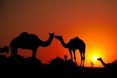 Camellos con el hombre en la salida del sol fotografía de archivo