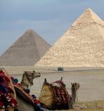 Camellos con las pirámides Imagenes de archivo
