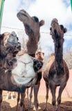 Camellos curiosos (dromedarios) Foto de archivo libre de regalías
