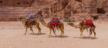 Camellos de Petra Jordan Fotos de archivo