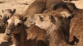 Camellos de Salala Omán en fila que mastican