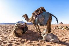 Camellos del dromedario en el desierto de Wadi Rum, Jordania Fotos de archivo libres de regalías