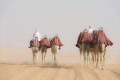 Camellos dirigidos foto de archivo libre de regalías