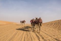Camellos dirigidos imagenes de archivo