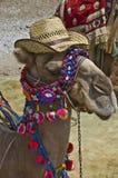 Camellos en Aspendos, Turquía Foto de archivo libre de regalías