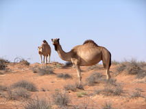 Camellos en desierto árabe imagen de archivo