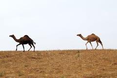 Camellos en desierto Fotos de archivo