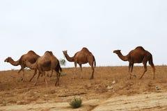 Camellos en desierto Foto de archivo libre de regalías