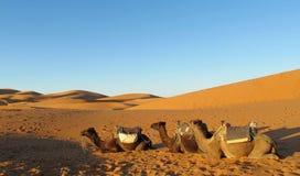 Camellos en desierto Imagenes de archivo