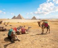 Camellos en desierto arenoso fotografía de archivo