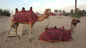 Camellos en Dubai& x27; desierto de s Imagenes de archivo