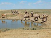Camellos en el agua fotografía de archivo