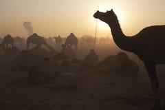 Camellos en el amanecer Foto de archivo libre de regalías