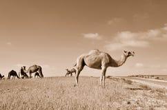 Camellos en el campo Imagen de archivo