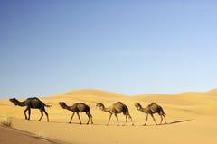 Camellos en el desierto Imágenes de archivo libres de regalías
