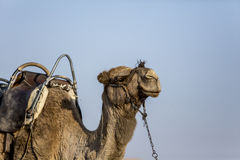 Camellos en el desierto Foto de archivo
