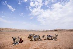 Camellos en el desierto Fotos de archivo