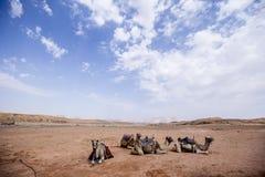 Camellos en el desierto Imagen de archivo libre de regalías