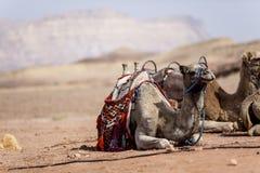 Camellos en el desierto Imagen de archivo