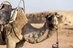 Camellos en el desierto Foto de archivo libre de regalías