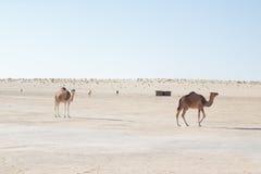 Camellos en el desierto Fotos de archivo libres de regalías