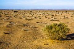 Camellos en el desierto, arbusto seco foto de archivo libre de regalías