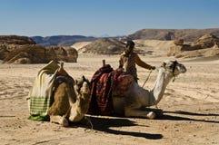 Camellos en el desierto de Dahab Fotos de archivo