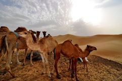 Camellos en el desierto de Liwa Imágenes de archivo libres de regalías