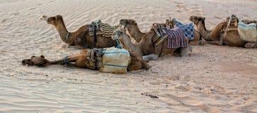 Camellos en el desierto de Sáhara Fotografía de archivo libre de regalías