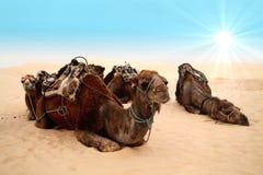 Camellos en el desierto de Sáhara Fotos de archivo