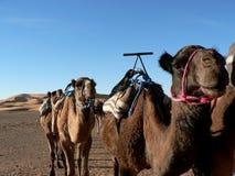 Camellos en el desierto de Sáhara imagen de archivo libre de regalías