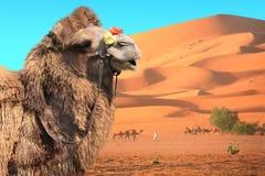 Camellos en el desierto del Sáhara, Marruecos Fotos de archivo libres de regalías