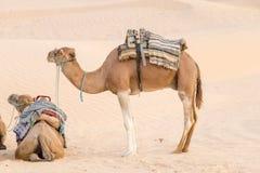 Camellos en el desierto del Sáhara, Túnez, África fotografía de archivo libre de regalías
