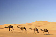 Camellos en el ergio Chebbi, Marruecos Foto de archivo libre de regalías