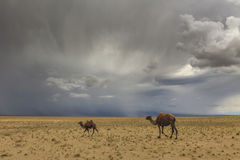 Camellos en el fondo del desierto y de montañas Fotografía de archivo