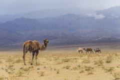 Camellos en el fondo del desierto y de montañas Foto de archivo
