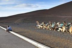 Camellos en el parque nacional Fotografía de archivo
