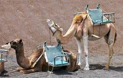 Camellos en el parque nacional de Timanfaya Fotografía de archivo libre de regalías