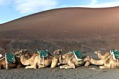 Camellos en el parque nacional de Timanfaya en Lanzarote Imágenes de archivo libres de regalías