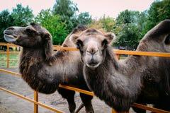 Camellos en el parque zoológico Fotografía de archivo libre de regalías
