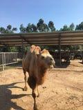 Camellos en el parque zoológico imagen de archivo