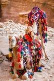Camellos en el Petra Imágenes de archivo libres de regalías