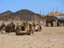 Camellos en la arena Fotografía de archivo