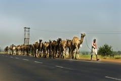 Camellos en la carretera en la India Imagen de archivo
