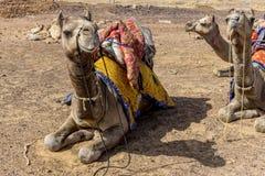 Camellos en la India Fotos de archivo