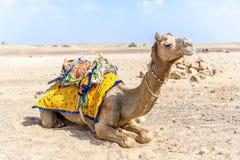 Camellos en la India Foto de archivo libre de regalías